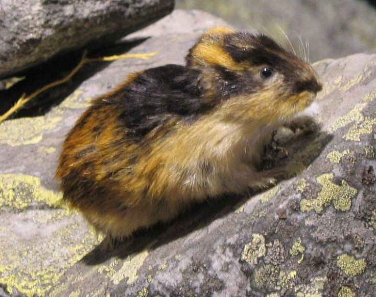 Lemming (public domain)