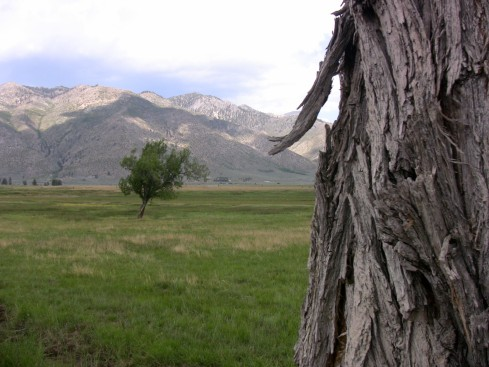 Knarled old tree near cattle range